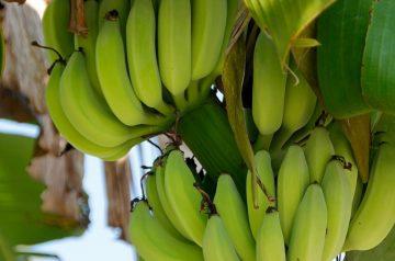 Banana Quesadillas