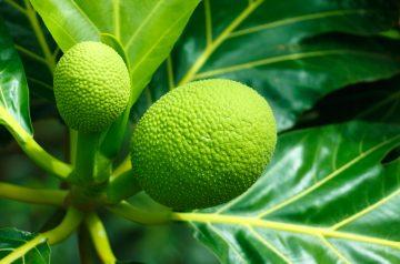 Coconut Ulu  ( Breadfruit) Smash