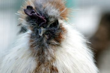Chicken Scallop