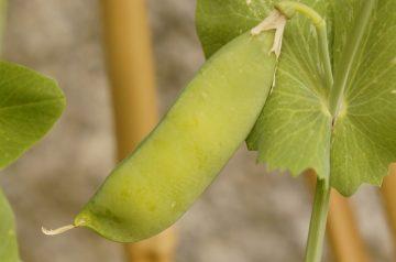 Colorful Pea Salad