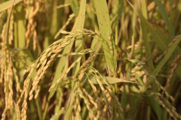 Country Rice