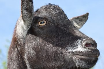 This Goat is a Real Jerk