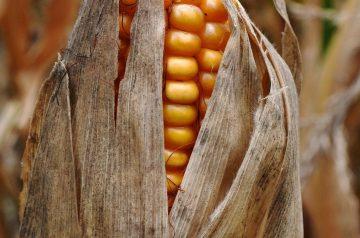 Golden Corn Cake