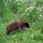"""Grandma Norns """" Bear Soup"""" Minus the Bear"""