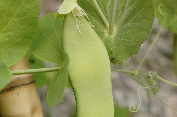 Green Pea-Goober Salad