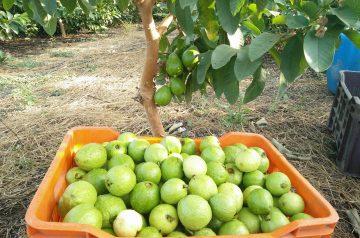 Guava Cheese Tart