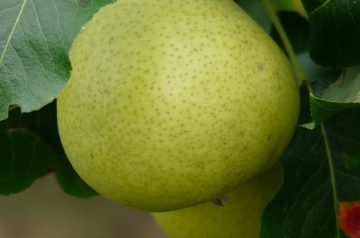 Harvest Pear Crisp