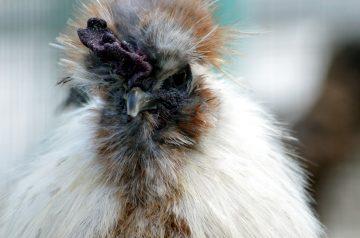 Idaho Chicken Scallop