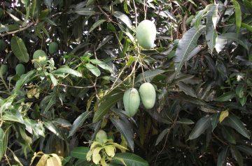 Mango Milkshakes