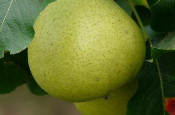 Pear Clafouti