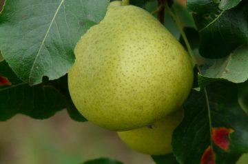 Pear Helene