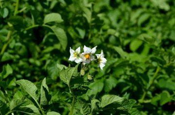 Plantation Sweet Potato Pone