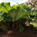 Rhubarb Rumble