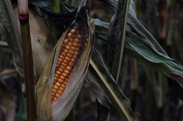 Roasted Corn on the Cob