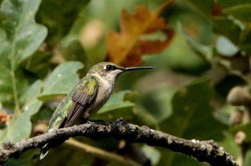 Hummingbird Bars