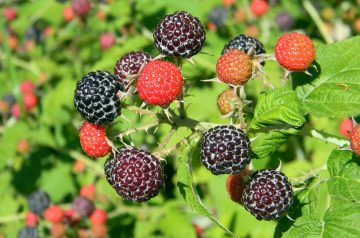 Minted Raspberry Hibiscus Agua Fresca