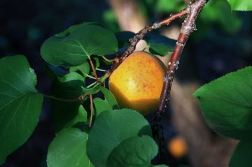 Apricot Swirl Cheesecake (Light)